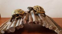 UK Bred Hermanns Hatchlings (THB) For Sale - South Wales