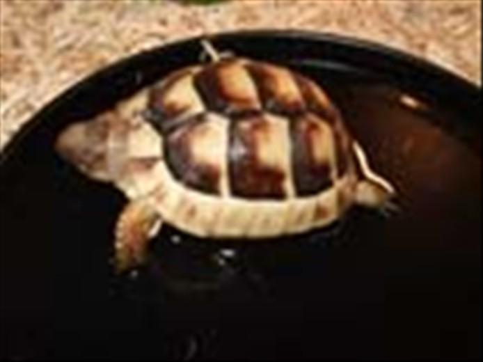 Marginated Tortoise Care Marginated Tortoises For Sale