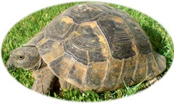 Spur Thighed Tortoise Ibera Tortoise Protection Group