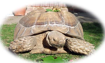 Sulcata - Tortoise Protection Group